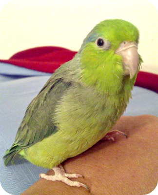 Parrotlet Sweet Pea