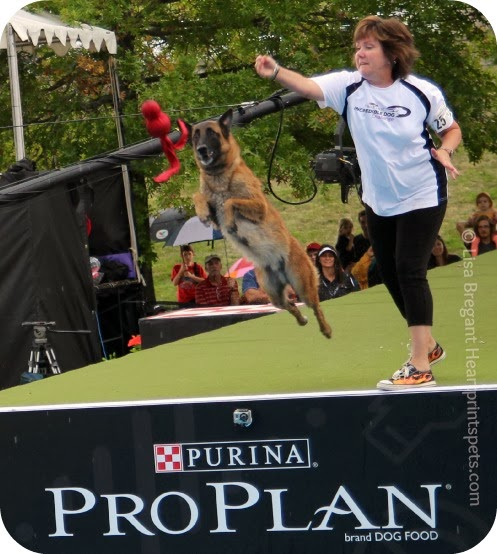 Football isn't the only sport to watch Sunday February 2, 2014-Talented canine athletes from around the world compete in the Purina Pro Plan Incredible Dog Challenge
