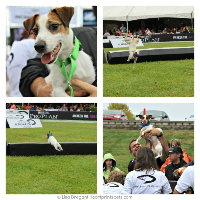 IDC-Jack-Russell-Hurdle-Racing-2