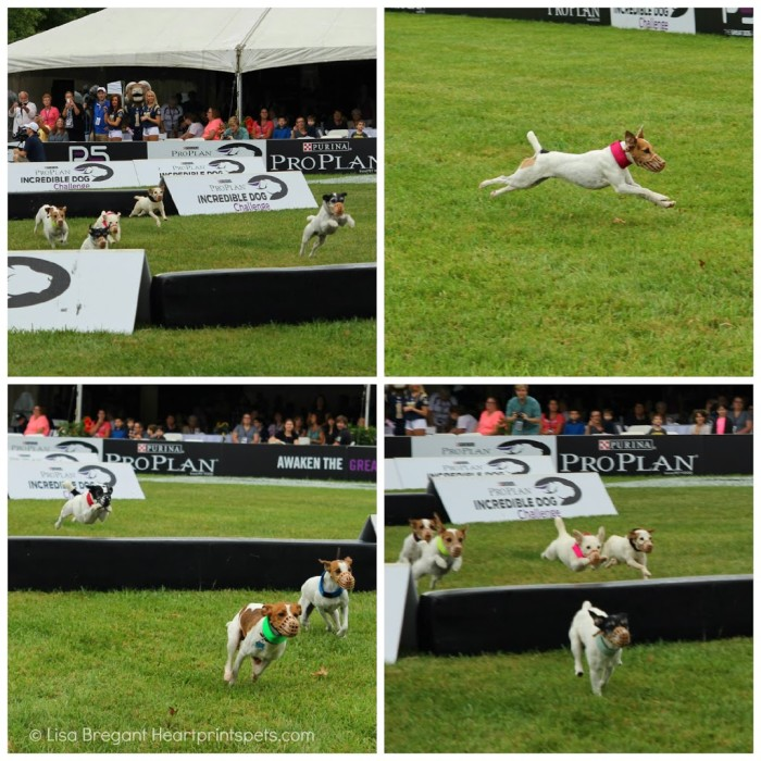 Incredible-Dog-Challenge-Jack-Russell-Hurdle-Racing