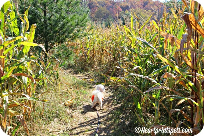 Delia-checks-out-the-corn-maze