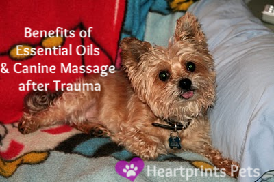 Nicky Benefits of Essential Oils and Canine Massage after Trauma