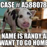 The Mission to Bring Randy the Pig Home