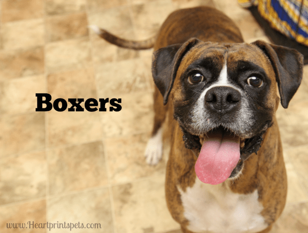 B is for Boxers  Rascal