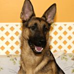 G: German Shepherd Dog