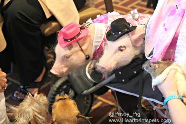 Priscilla the Mini Pig, her little brother Poppleton, and dogs