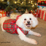 Delia after PetSmartGrooming ready for Santa Paws and Christmas photos