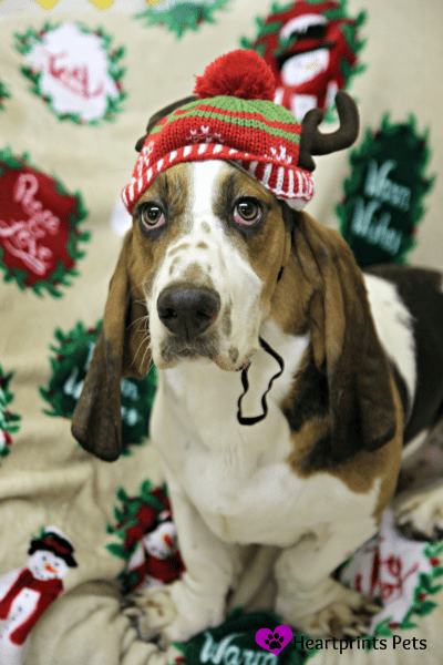 Flash the basset hound