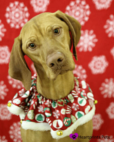 Zusi the Vizsla posing for his holiday photo.