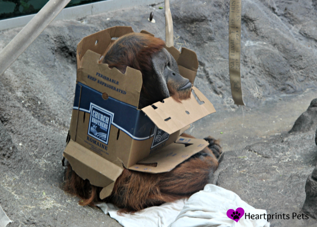 Orangutan in a box at the St. Louis Zoo