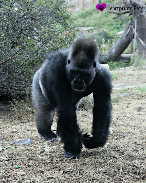 Gorilla at St. Louis Zoo