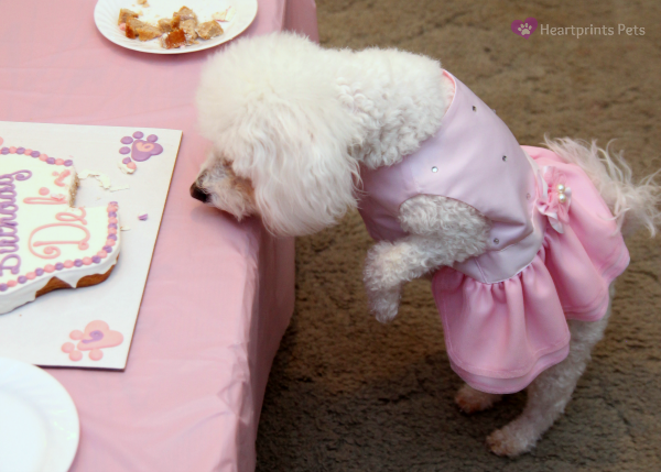 Bichon Frise Birthday Party