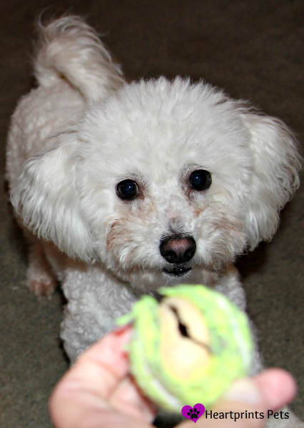 Bichon Frise waiting for her favorite ball