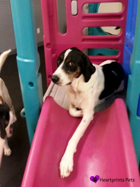 Biscuit relaxing on the slide at doggie daycare.
