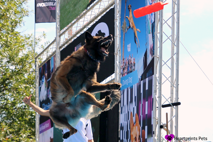 Purina Pro Plan Incredible Dog Challenge 2014 Fetch It Competition