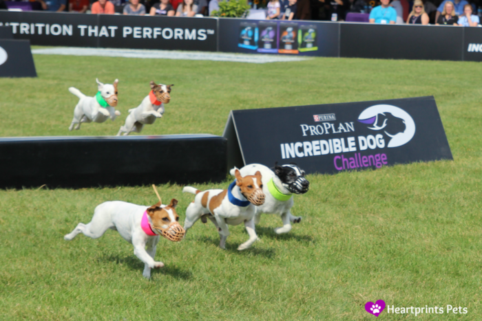 Purina Pro Plan Incredible Dog Challenge 2014 Jack Russell Terrier Hurdle Racing