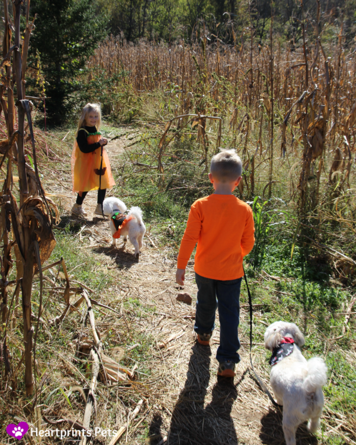 St. Louis Pet Friendly pumpkin patch and corn maze