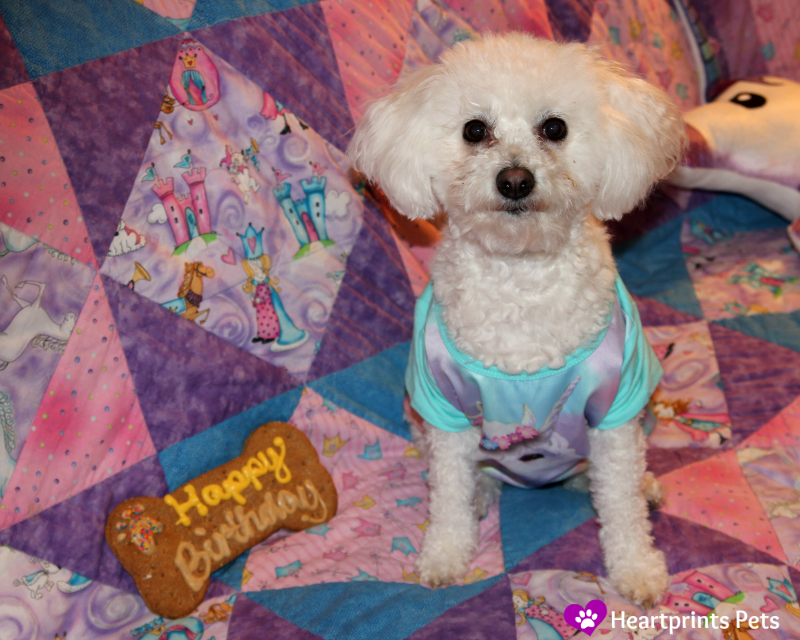 Bichon Frise Delia 7th Birthday